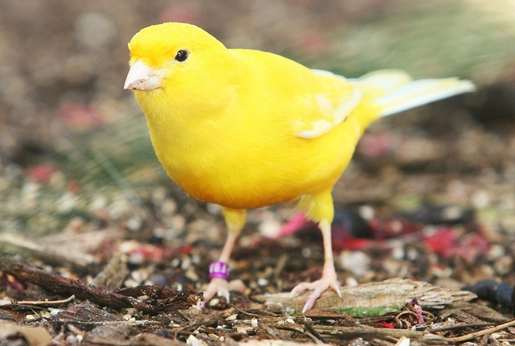 Yellow Canary Bird picture